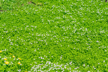 Field Of Smal White Blooming F...