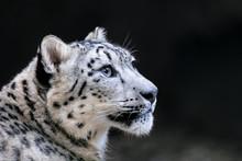 One Of Most Beautiful Big Cat, Snow Leopard - Irbis, Uncia Uncia