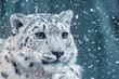 canvas print picture - one of most beautiful big cat, snow leopard - Irbis, Uncia uncia