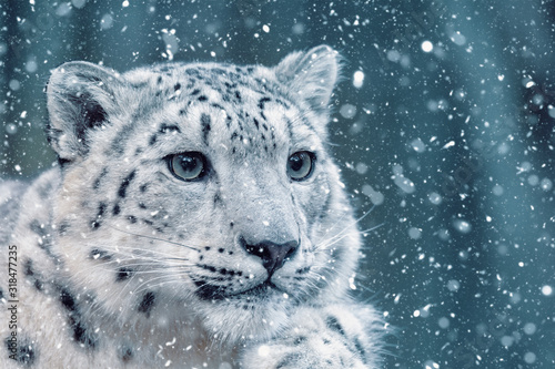 Photographie one of most beautiful big cat, snow leopard - Irbis, Uncia uncia