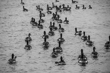 High Angle View Of Canada Geese Swimming On Sea