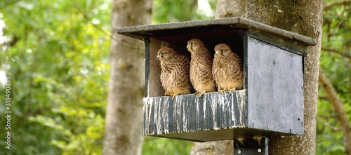 Fotografering Close-Up Of Kestrels In Birdhouse On Tree