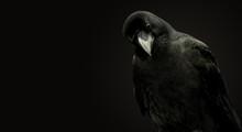 Portrait Of A Raven On A Black...