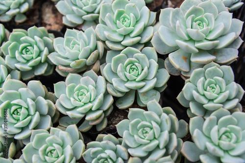 Fototapeta Lovely succulent plants obraz