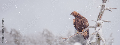 Naklejki ptaki  golden-eagle-sitting-on-a-tree-branch-in-snowfall-on-a-cold-winter-day-sized-to-fit-for-cover-image-on-popular-social-media-site