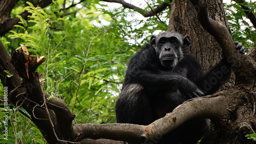 Foto PORTRAIT OF chimpanzee ON TREE