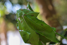 Green Weaver Ants Nest On The ...