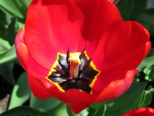 Red Tulip On Green Background ...