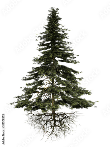 conifer tree with roots isolated on white background Poster Mural XXL
