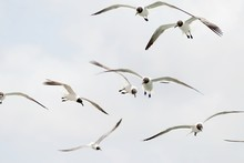 Black-Headed Gulls Flying Against Sky