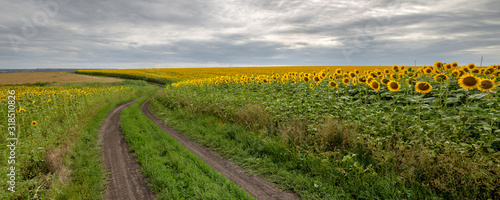 Fotomurales - The country road through the yellow sunflower's field. Summer landscape: beautiful field yellow sunflowers. Panoramic banner.