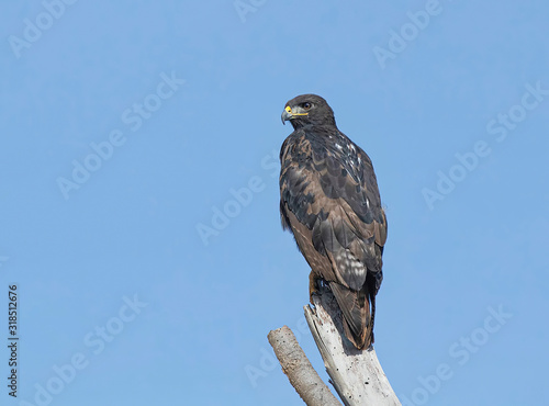 Photo Close up of augur buzzard (Buteo augur) in nature