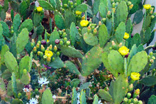 Yellow Flower Of The Prickly Pear Cactus, Background