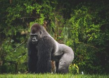 Close-Up Of Gorilla At Forest
