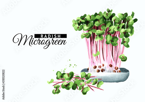 Microgreens radish with green leaves and purple stems. Vegan and healthy eating concept.Sprouting Microgreen. Seed Germination. Hand drawn watercolor illustration, isolated on white background