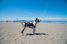 Great Dane Standing At Beach Against Blue Sky During Sunny Day