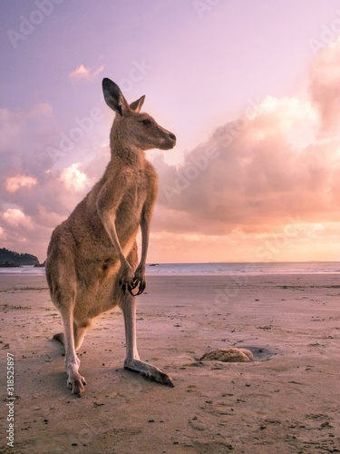 Kangaroo Standing At Beach Against Sky During Sunset - fototapety na wymiar