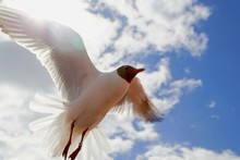 Low Angle View Of Black-Headed Gull Flying In Sky