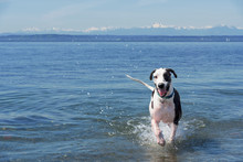 Great Dane Dog Running On Sea Against Sky