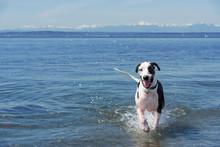 Great Dane Dog Running On Sea ...