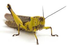 Javanese Grasshopper (Valanga ...