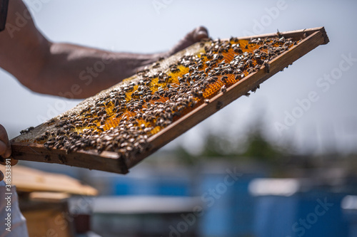 Honey bees removed from the hive for inspection by a beekeeper Canvas Print