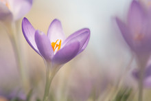Blooming Purple Crocus Flowers...