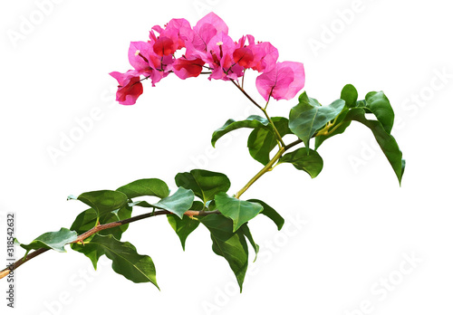 Vászonkép Bougainvillea flowers and leaves
