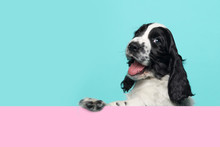Cute Happy Smiling Cocker Spaniel Puppy Dog  Hanging Over An Pink Board On A Blue Background With Copy Space