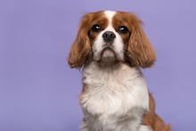 Portrait Of A Cavalier King Charles Spaniel Dog Looking At The Camera Isolated On A Purple Background