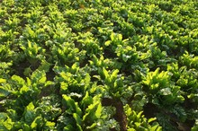 High Angle View Of Fresh Green Spinach Growing At Farm