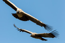 Low Angle View Of Vultures Flying Against Clear Blue Sky