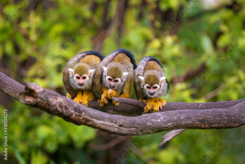 Three common squirrel monkeys sitting on a tree branch Canvas Print