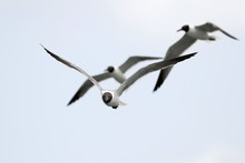 Low Angle View Of Black-Headed Gulls Flying In Clear Sky