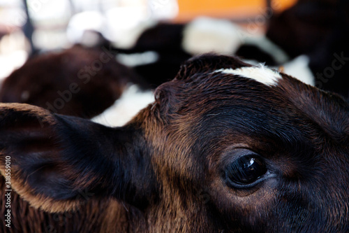 Close-Up Of Calf - fototapety na wymiar