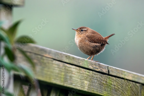 Fényképezés Wren bird perched on a fence which is a common British garden songbird found in