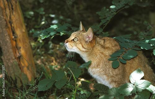 Obraz CHAT SAUVAGE D'EUROPE felis silvestris - fototapety do salonu