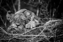 Close-Up Of Sleeping Lion Cub