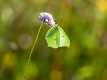 Brimstone Butterfly ( Gonepter...