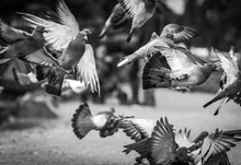 Close-Up Of Pigeons Flying