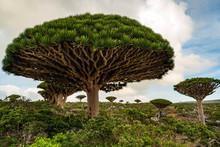 Dragon Blood Tree Is An Endemic Plant In Socotran Archipelago Of Yemen In Indian Ocean