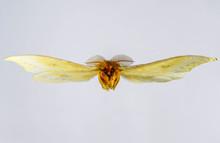 Big Moth Flying, Isolated On W...