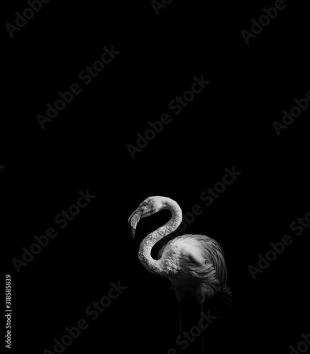 Photographie Flamingo Perching On Black Background
