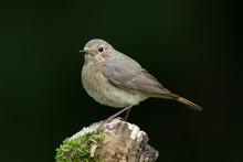 Redstart Female Perched