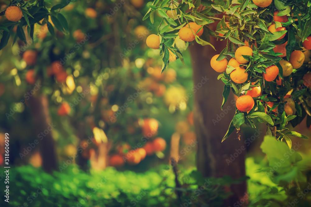 Fototapeta Tangerine sunny garden