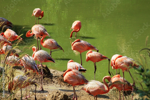 Naklejki Flamingi  flock-of-flamingos-in-water