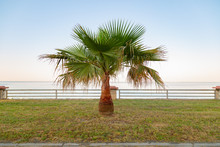 Date Or Fig Palm Tree With An ...