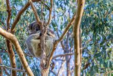 Low Angle View Of Koala On Tree