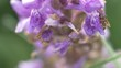 Makro / macro - Ameise auf lila Blume / ant on purple flower