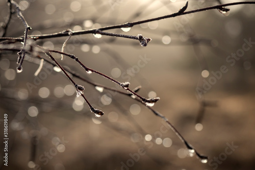 Fototapety, obrazy: Drops of water on frozen branch